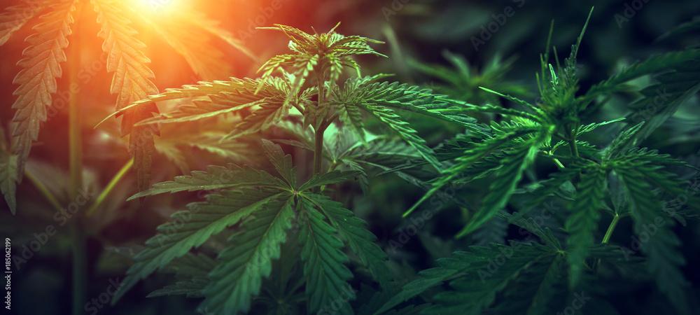Fototapety, obrazy:  marijuana  background at sunset. bush cannabis.