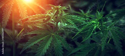 marijuana  background at sunset. bush cannabis. Wallpaper Mural