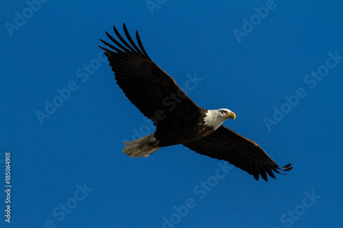 Photo  Soaring Bald Eagle