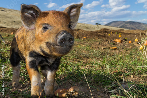 Photo  Cute mini pigs enjoying a beautiful afternoon on the farm