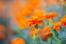 Orange Marigolds With Beauty.