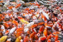 Koi Fish, Fancy Carps Fish In ...