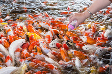 Hand Of A Woman Holds A Feeding Bottle For A Koi Fish, Fancy Carps Fish In Pond.Motion Blur Pictues.