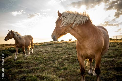 Deux chevaux sauvages ardèche comtois en mouvement robe marron crinière blonde en contre jour vent ciel blanc nuageux dans prairie verte