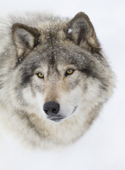 Timber Wolf or Grey Wolf (Canis lupus) portrait closeup in winter snow in Canada