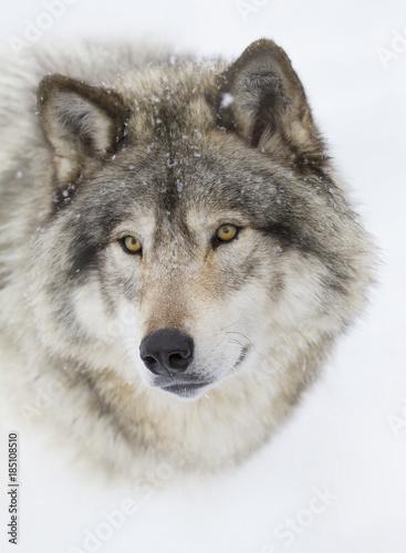 Szalunku wilka lub popielatego wilka portreta zbliżenie w zima śniegu w Kanada (Canis lupus)
