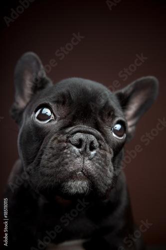 Fotografie, Obraz  French Bulldog Studio
