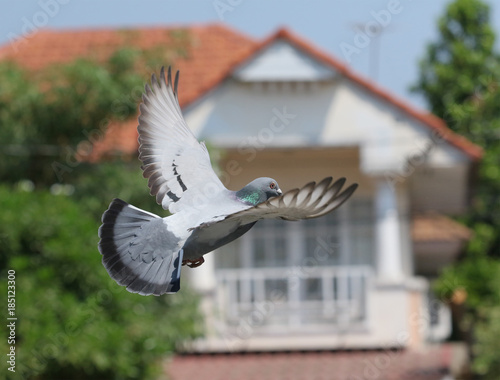 homing pigeon bird flying in home village