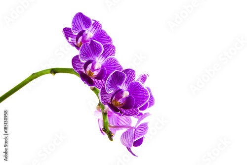 pink white purple Dendrobium phalaenopsis orchid branch are blooming with bud in tropical garden form orchid farm in Thailand isolated on white background with clipping path For design or print Wallpaper Mural