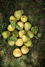 Overhead View Of Pears On Gras...