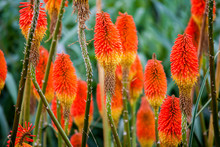 Kniphofia Uvaria Also Known As Torch Lily Or Red Hot Poker Flowers
