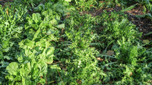 Curly Endives And Lettuces In A Vegetable Garden.