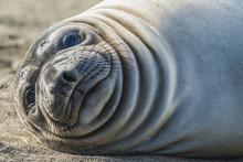 Close-up Portrait Of Sea Lion