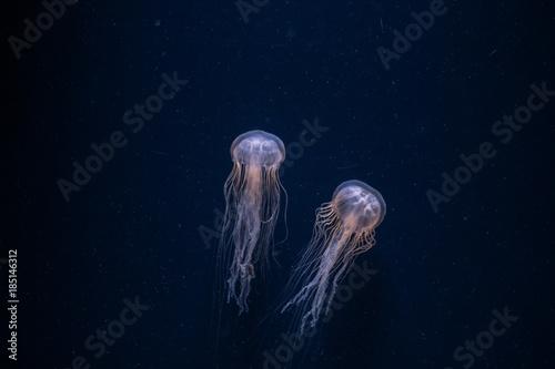 Fotografia Jellyfish