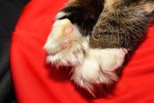 Shaggy Siberian Cat Pows On Re...