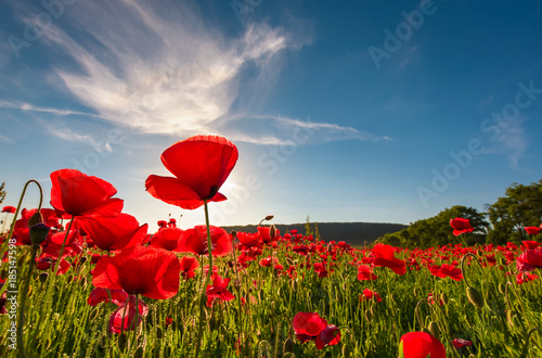 Poster Poppy field of red poppy flower with sunburst shot from below. beautiful nature background against the blue sky