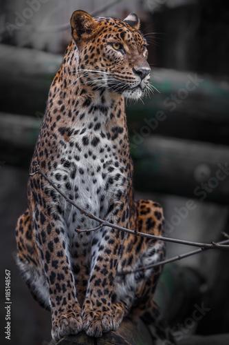 Tuinposter Luipaard Sri Lankan leopard