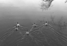 Geese Swimming Down The River - Black And White