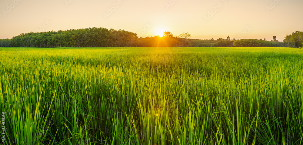 Rice field with sunrise or sunset in moning light