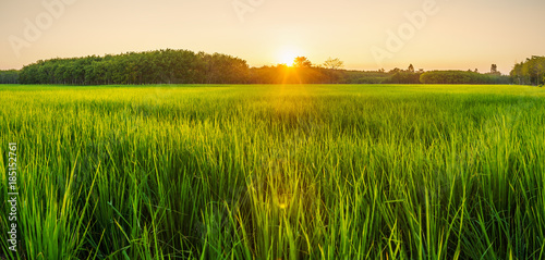 Staande foto Cultuur Rice field with sunrise or sunset in moning light