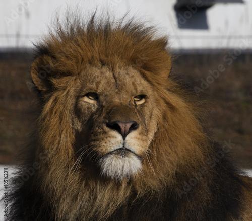 Fototapety, obrazy: Majestic Lion