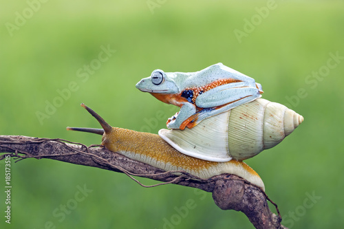 Tuinposter Kikker Tree frog, flying frog, javan tree frog