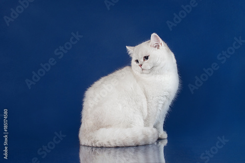 In de dag Ijsbeer British white shorthair young cat with magic Blue eyes, britain kitten sitting on blue background with reflection