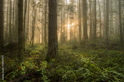 Papiers peints Forets Pacific Northwest Forest on a Foggy Morning. During a beautiful sunrise the morning fog adds an atmospheric feel to the firs and cedars that make up this lovely island forest.