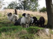 Schafe Mit Hörnern Auf Hangwiese