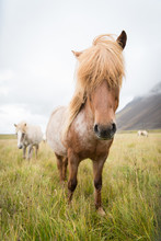 A Long Haired Horse In Iceland.