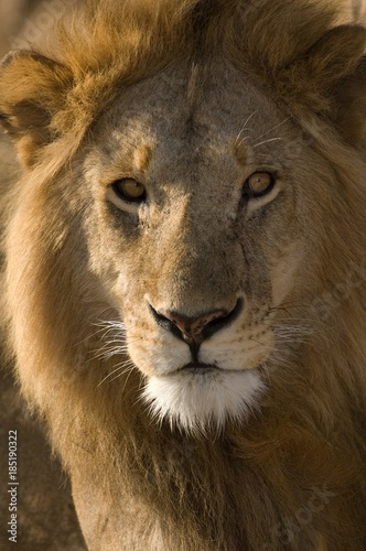 Fototapety, obrazy: Africa, East Africa, lion, close-up