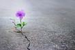 Leinwandbild Motiv Purple flower growing on crack street, soft focus, blank text