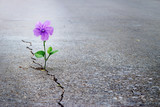 Fototapeta Kwiaty - Purple flower growing on crack street, soft focus, blank text