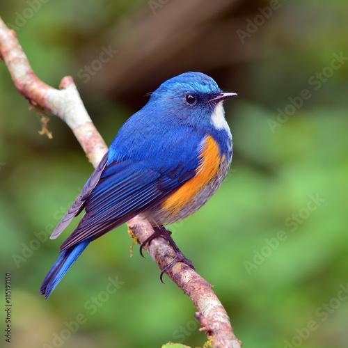 Photo  Orange-flanked Bush Robin bird