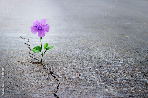 Purple flower growing on crack street, soft focus, blank text Fototapete