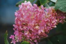 Blooming Pink  Hydrangea