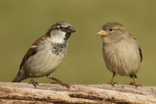Pair Of House Sparrows (Passer...
