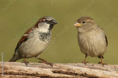 Sticker - Pair of House Sparrows (Passer domesticus)