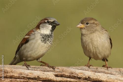 Fotografía Pair of House Sparrows (Passer domesticus)