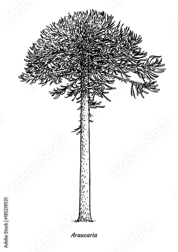 Araucaria tree illustration, drawing, engraving, ink, line art, vector Canvas Print