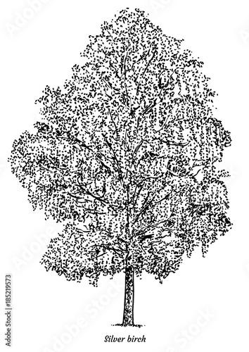 Fotografie, Obraz Silver birch tree illustration, drawing, engraving, ink, line art, vector