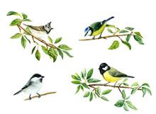 Tit Birds On Apple Tree