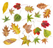 Set of autumn colored leaves from park isolated on white