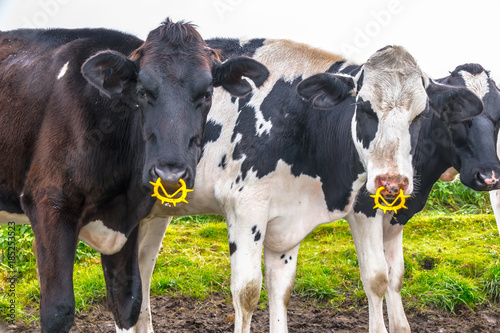 Two Cows With A Yellow Glowing Nose Ring On The Pasture At The