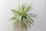 High-angle shooting spider plant