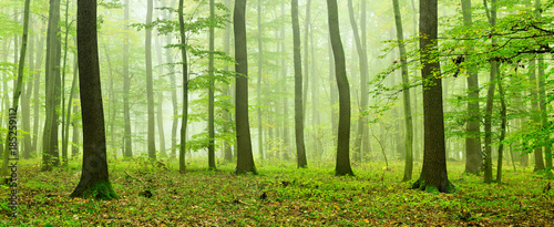 Fototapeten Wald Foggy Natural Forest of Oak and Beech Trees