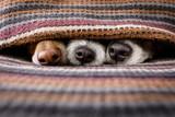 Fototapeta Zwierzęta - dogs under blanket together