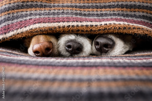 Aluminium Prints Crazy dog dogs under blanket together