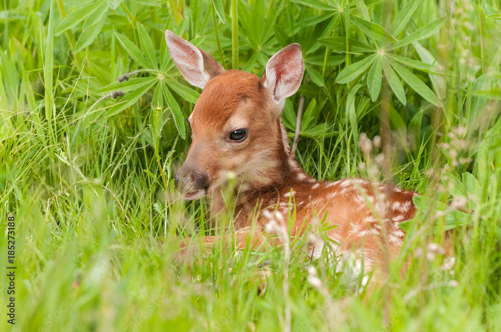 White-Tailed Deer Fawn (Odocoileus virginianus) Lies in the Grass