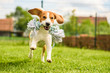 canvas print picture - Dog run Beagle fun